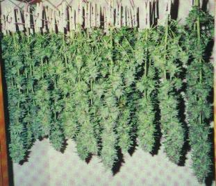 Cannabis_Specimen_6743