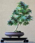 Cannabis_sativa