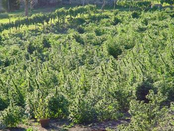 cannabis-growing