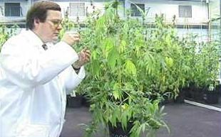 cannabis_06092001_lead