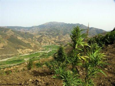 Cannabis_Vallee_Valley2